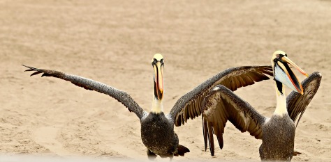 Playful pet Pelicans strike a pose for my camera, in return their master gets paid