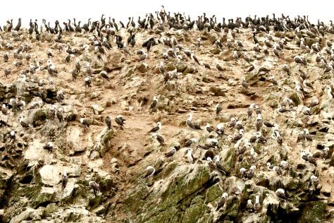 Huge bird and penguin colonies on the Islas Ballestas
