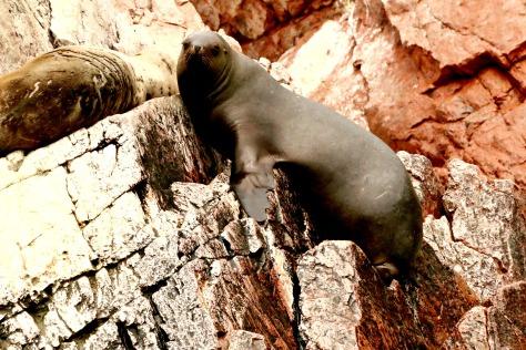 A really big sea lion Bull