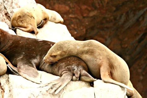 Sea lions basking