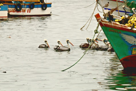 Hungry pelicans jumping on the fishermen's boat to enjoy a meal