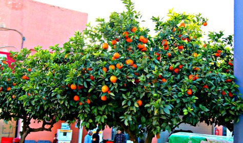 Orange trees are omnipresent in Marrakech's street and almost everywhere