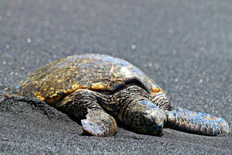 Green Sea Turtle enjoying a sunbath on the black sand beach
